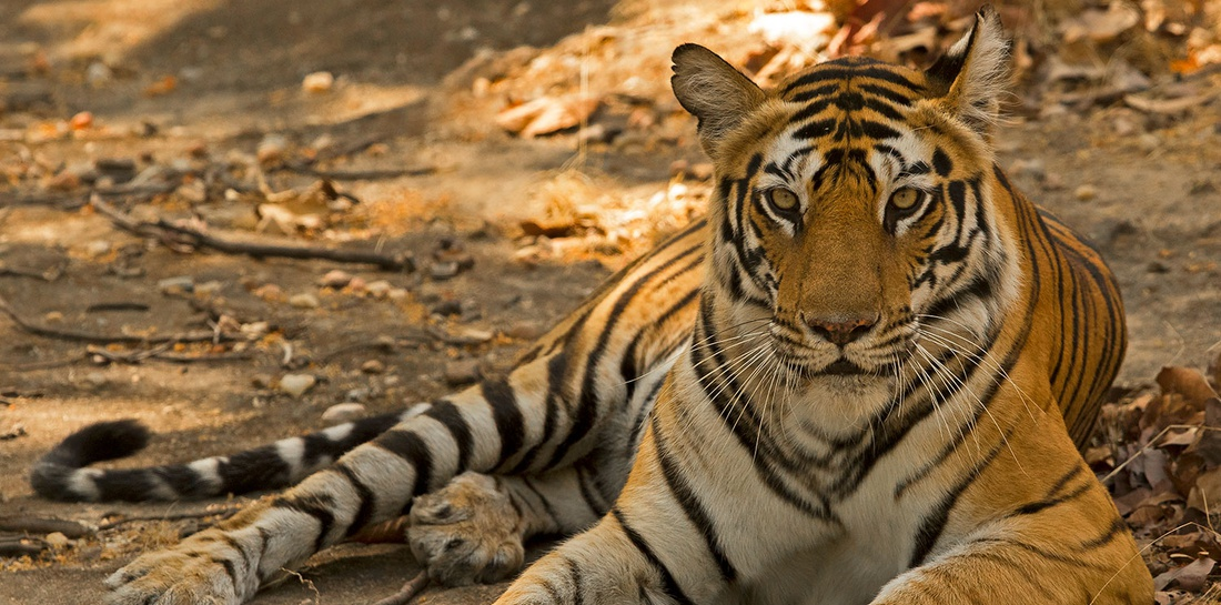 Tiger Trails In Bandhavgarh: Photography Trip