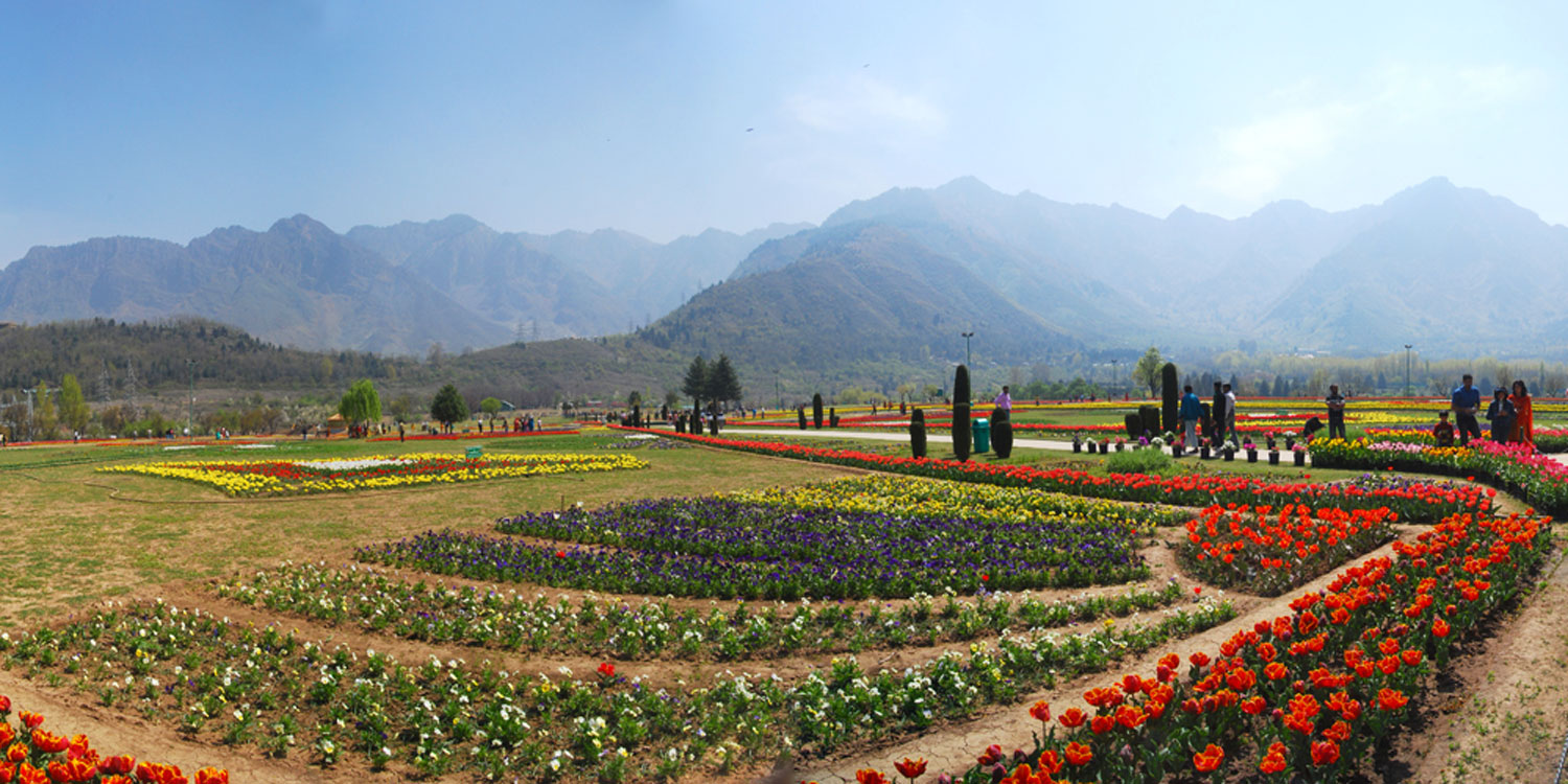 Witness Kashmir's famous tulips in full bloom