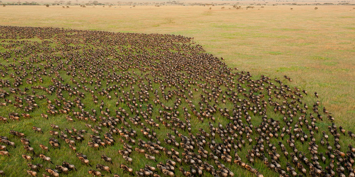 Witness the spectacular Great Migration in action