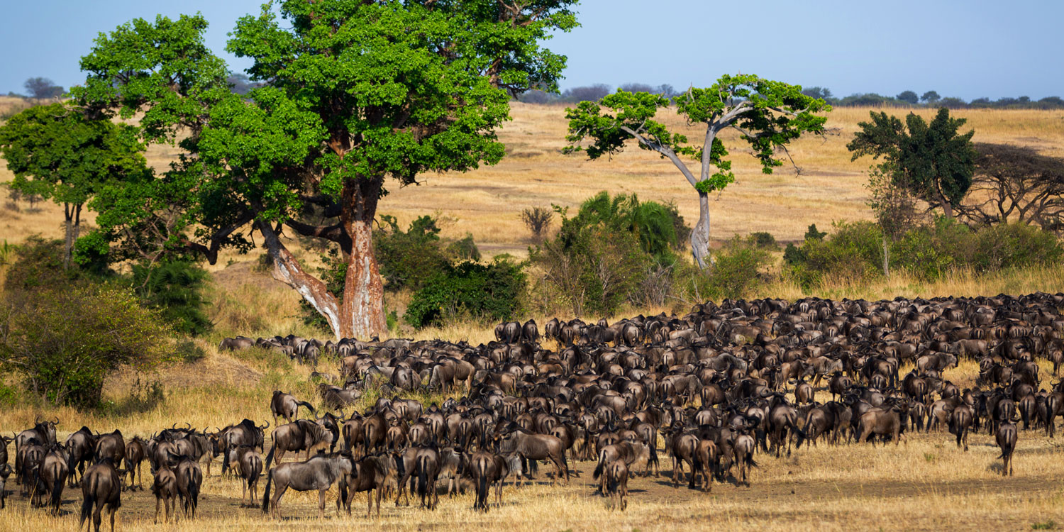Wildebeests, chimps and an ocean of pink